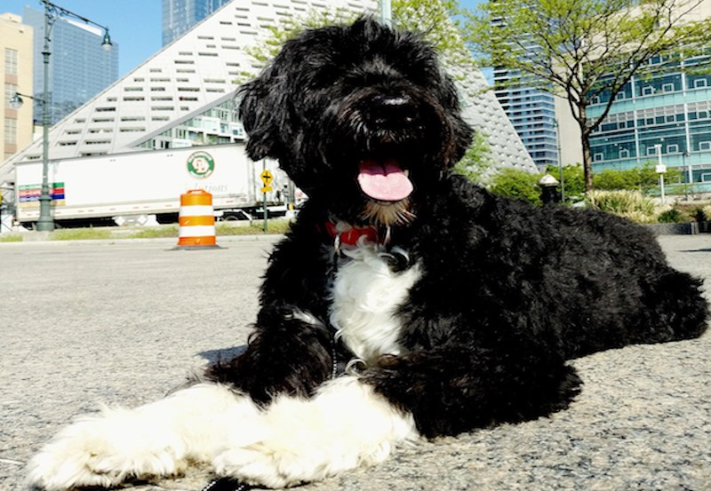 1280px Portuguese Water Dog in NYC
