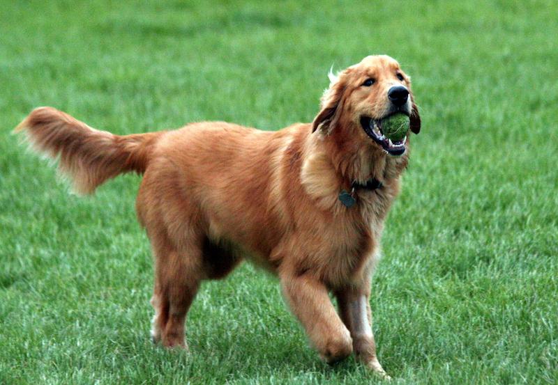 Golden Retriever with tennis ball